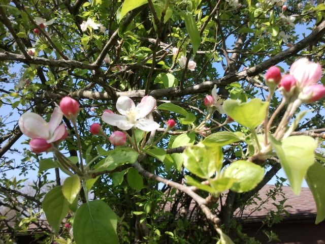Apple Blossoms at 502 S. Westmore-Meyers Road and Washington Boulevard, Lombard, Illinois USA